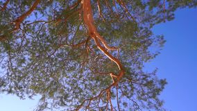 Vertical pan and zoom out shot of green pine branches and blue sky. Clip stock footage