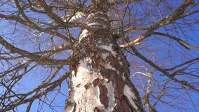 Vertical pan and zoom in shot of leafless birch trunk against blue cloudless sky stock video footage