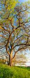 Vertical panorama of big tree Royalty Free Stock Images