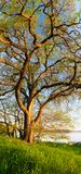 Vertical panorama of big tree Stock Photography