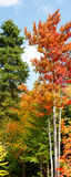 Vertical panorama of fall forest. Beautiful vertical panorama of maple trees and evergreen during fall or autumn season with leaves in vivid yellow, orange and Royalty Free Stock Photo