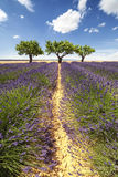 Vertical panorama of a lavender field with three trees Stock Image