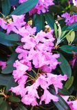 Vertical panorama with pink rodedrons in botanical garden.  royalty free stock photography