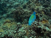 Vertical Parrotfish Royalty Free Stock Images