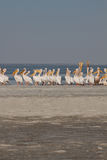 Vertical pelicans meeting Stock Photo