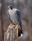 Vertical Peregrine Falcon Stock Images