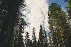 Vertical perspective within a dense forest of pine trees. Bottom view on pine trees Stock Photography