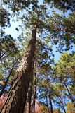 Vertical perspective of pine tree Royalty Free Stock Image