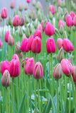 Vertical photo of beautiful pink tulips taken on a gloomy misty morning of a rainy day. White light. Raindrops on fuchsia petals. Rain. Holland tulips stock image