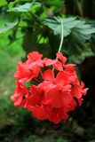 Vertical Photo of Blooming Red Geranium Flowers with Blurred Green Foliage in Background. Beauty in Nature royalty free stock photos