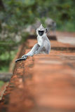 Vertical photo of Gray langur, Semnopithecus entellus, baby. Vertical photo of Gray langur, Semnopithecus entellus, monkey baby from Sacred City, sitting on the stock photo