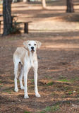 Stray Dog. Vertical photo of a homeless stray dog with long legs. It is light colored and stands in a forest Royalty Free Stock Photography