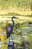 Vertical photo of long-legged blue heron perched in profile stock image