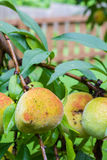 Vertical photo of peach on a tree with a brown fence Royalty Free Stock Image