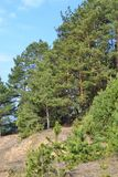 Vertical photo: pine forest spring view, landscape of Belarus royalty free stock photos