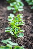 Few small radishes plants in a line with fresh green leaves. Vertical photo with several fresh plants grow from soil and sown in a line. Plants  are young Royalty Free Stock Photography