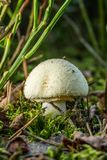 Fatally poisonous toadstool grows in forest. Vertical photo of single white mushroom which grows from the soil and moss in the forest. It is fatally poisonous stock images