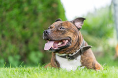 Vertical photo of staffordshire bull terrier on grass field with Stock Photos