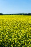 Many rapeseed plants with yellow blooms on field next to woods Royalty Free Stock Photography