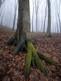 Vertical photo of tree with big roots with moss in a foggy forest Stock Photos