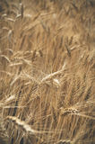Vertical photo of a wheat field Stock Images