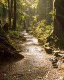 Rainforest Path. Vertical Photo of a woodland path through the rainforest backlit and eerie Stock Image