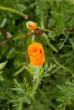 Californian Poppy. A vertical photograph of a closed orange Californian Poppy, with a shallow depth of field stock image