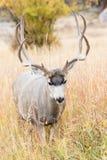 Vertical photograph of mule deer buck Stock Image