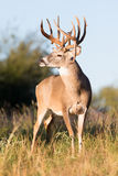 Vertical photograph of non-typical whitetail buck Stock Image