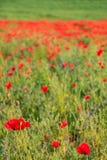 A Poppy Field Royalty Free Stock Image