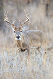 Vertical photograph of whitetail buck Stock Images