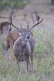 Vertical photograph of whitetail buck lip curling. Whitetail buck making lip curling action during rut Royalty Free Stock Photo