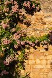 Vertical pic of Climbing plant in stoned wall Royalty Free Stock Photo