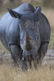 Vertical Picture of Big African Rhino Stock Photo