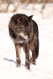 Vertical picture of black wolf Royalty Free Stock Photography