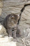 Vertical picture of bobcat Royalty Free Stock Photography
