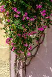 Vertical picture of climbing bougainvillea glabra flowers on the wall under the sunlight at daytime