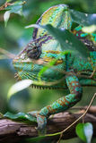 Vertical picture of colorful Cameleon Stock Photo