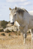 Vertical picture of dominant stallion in national park in North Dakota. Close-up of stallion in canyon Stock Photography