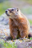 Vertical picture of marmot by flowers Royalty Free Stock Images