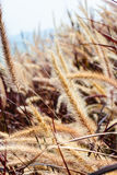 Vertical picture of Pennisetum flower with red leaves and mountain in background. Vertical picture of Pennisetum flower straw-color with red leaves and mountain royalty free stock photos