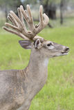 Vertical picture of whitetail buck in velvet Royalty Free Stock Images