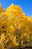 Vertical picture on yellow aspen trees Royalty Free Stock Photos