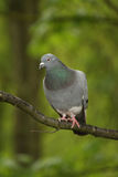 Vertical pigeon. Vertical shot of a pigeon on a branch against bright green foliage Stock Photo