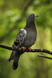 Vertical pigeon. Vertical shot of a pigeon against bright green foliage Stock Image