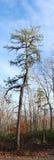 Vertical Pine Panorama Royalty Free Stock Image