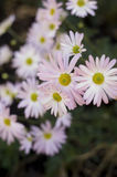Vertical Pink Daisy Stock Photography