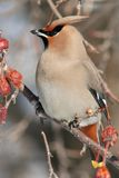 Vertical Portrait of a Bohemian Waxwing. A nice full frame vertical portrait of a Bohemian Waxwing perched on a berry filled branch of a flowering crabapple tree Royalty Free Stock Photography
