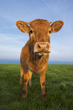 Vertical portrait of brown cow Royalty Free Stock Image