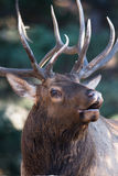 Vertical portrait of bugling elk Stock Photo